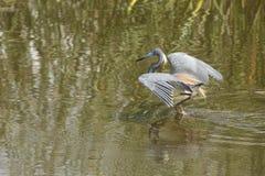 Tricolored-Reiher, der im Wasser eines Florida-Sumpfs watet Lizenzfreies Stockfoto