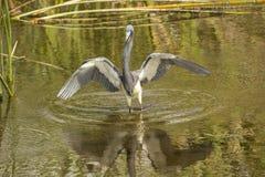 Tricolored-Reiher, der im Wasser eines Florida-Sumpfs watet Stockbild