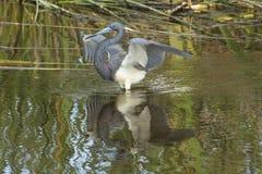 Tricolored-Reiher, der im Wasser eines Florida-Sumpfs watet Lizenzfreies Stockbild
