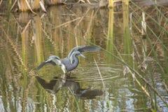 Tricolored-Reiher, der im Wasser eines Florida-Sumpfs watet Lizenzfreie Stockfotografie