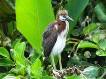 Tricolored Reiher (Egretta tricolor) Lizenzfreies Stockbild