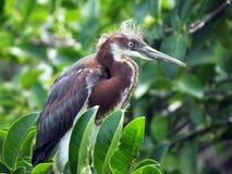 Tricoloredreiger of Egretta-tricolor royalty-vrije stock foto