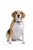 Tricolour Beagle dog Stock Photography