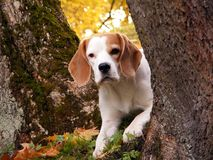 Beagle hiding behind the tree Royalty Free Stock Image