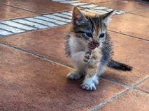 Tricolour calico tortoiseshell kitten washing front paw stock images