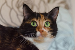 Tortoiseshell cat with green eyes Royalty Free Stock Photos