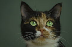 Tortoiseshell cat with green eyes. Closeup of a domestic cat. Photo taken on: June 25th, 2015 royalty free stock photography
