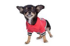 Tricolour smooth Chihuahua Royalty Free Stock Photo