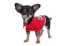 Tricolour smooth Chihuahua Royalty Free Stock Photos