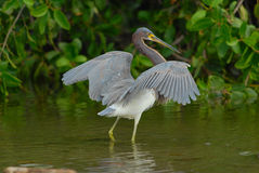 Tricoloured Heron Stock Images