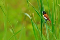 Tricoloured munia, Lonchura Malacca, estrildid finch, miejscowy India i Sri Lanka, Ptak w marsz wody trawy siedlisku Wildlif Obraz Stock