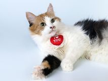 Tricoloured St Valentine's Day cat Stock Images