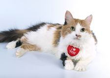 Tricoloured Valentine cat Royalty Free Stock Photography