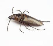 Trictenotomidae Royalty-vrije Stock Foto's