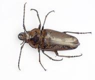 Trictenotomidae Immagine Stock