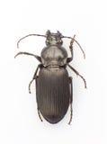 Trictenotomidae Stock Fotografie