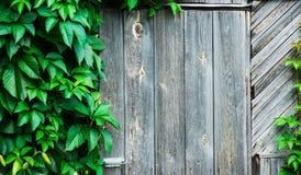 Tricuspidata de Parthenocissus (plante grimpante de Virginie) dans le jardin Image libre de droits