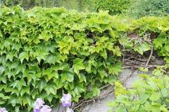 Tricuspidata Parthenocissus (κισσός της Βοστώνης) Στοκ εικόνα με δικαίωμα ελεύθερης χρήσης