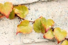 Tricuspidata Parthenocissus το φθινόπωρο, κισσός της Βοστώνης, κισσός σταφυλιών Στοκ φωτογραφία με δικαίωμα ελεύθερης χρήσης