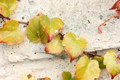 Tricuspidata Parthenocissus το φθινόπωρο, κισσός της Βοστώνης, κισσός σταφυλιών Στοκ Εικόνες
