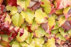 Tricuspidata Parthenocissus το φθινόπωρο, κισσός της Βοστώνης, κισσός σταφυλιών Στοκ Εικόνα