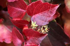 Tricuspidata Parthenocissus το φθινόπωρο, κισσός της Βοστώνης, κισσός σταφυλιών Στοκ φωτογραφίες με δικαίωμα ελεύθερης χρήσης