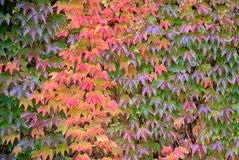 Tricuspidata Parthenocissus, листва стоковое фото