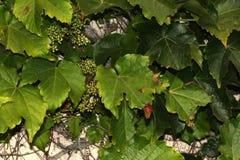 Tricuspidata Parthenocissus, японский creeper, плющ виноградины, японский плющ Стоковое Изображение
