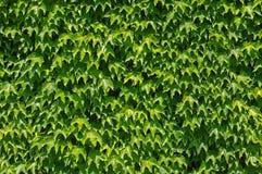 Tricuspidatus del Parthenocissus, il rampicante giapponese o edera di Boston, vitaceae della famiglia Immagini Stock Libere da Diritti