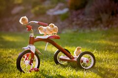 Free Tricycle With Little Chicks In Garden,  Baby Chickens Playing Stock Photos - 178450853