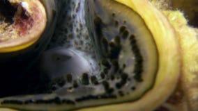 Tridacna pericoloso subacqueo alla ricerca di alimento in Mar Rosso archivi video