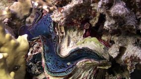 Tridacna Scuamose giant clam with heavy violet mantle in Red sea. Relax underwater video about marine inhabitants stock video