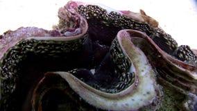 Tridacna Scuamose-Riesenmuscheln mit schwerem Umhang im Roten Meer stock video footage