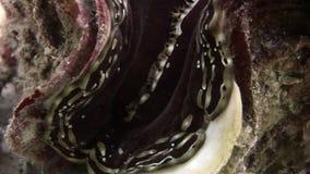 Tridacna Scuamose-Riesenmuscheln mit schwerem Umhang im Roten Meer stock video