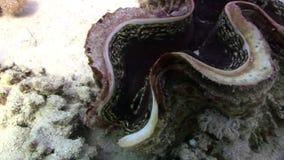 Tridacna Scuamose-Riesenmuscheln mit schwerem Umhang im Roten Meer stock footage