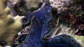Tridacna Scuamose-Riesenmuscheln mit schwerem violettem Umhang im Roten Meer stock video footage
