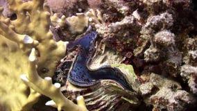 Tridacna Scuamose-Riesenmuscheln mit schwerem violettem Umhang im Roten Meer stock video