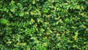 tridax procumbens ή coatbuttons υπόβαθρο φύσης εγκαταστάσεων Στοκ Εικόνες