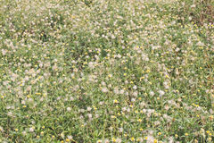 Tridax procumbens grass field Royalty Free Stock Photos