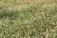 Tridax procumbens grass field Stock Image