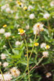 Tridax procumbens grass flower Royalty Free Stock Photo
