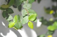 Tridax procumbens lub arywista roślina Obrazy Stock