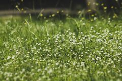 Tridax procumbens in the park royalty free stock images