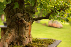 Trident Maple Bonsai Royalty Free Stock Images