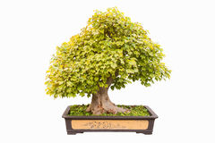 Trident maple bonsai Stock Image