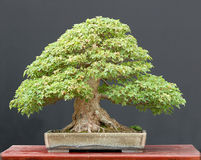 Trident maple bonsai in summer Royalty Free Stock Image