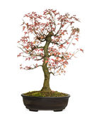 Trident Maple bonsai tree, Acer buergerianum, isolated Stock Image