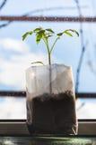 Trieb der Tomatenpflanze im Kunststoffrohr auf Schwelle Stockfoto