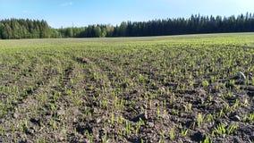 Trieb des Getreides lizenzfreies stockfoto