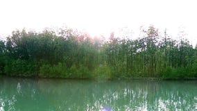 Trieb und Wurzel des Mangrovenapfels Sonneratia alba oder Korkenbaum im Mangrovenwald im voll Wasser Lebensraum mit Sonnenlicht stock video